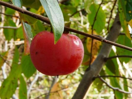 筑波実験植物園 柿・山形紅柿
