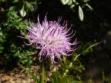 筑波実験植物園 ハチジョウアザミ 1