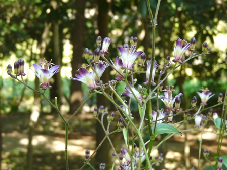 筑波実験植物園 タイワンホトトギス 3