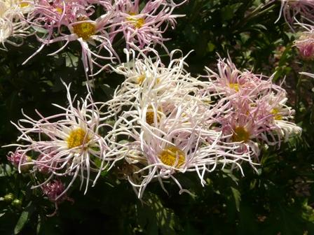 筑波実験植物園 キク 糸菊