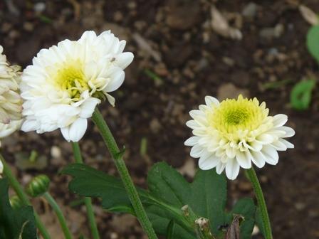 筑波実験植物園 キク セイミノザ
