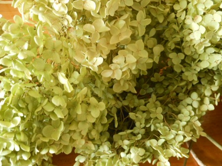 紫陽花アナベル