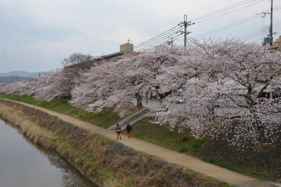高野川の桜①