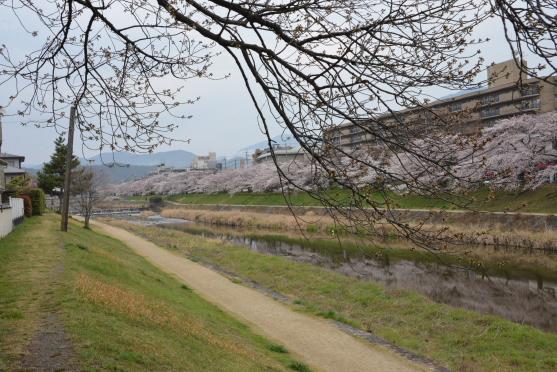 高野川の桜②