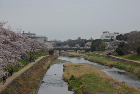 高野川の桜③