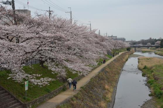 高野川の桜④