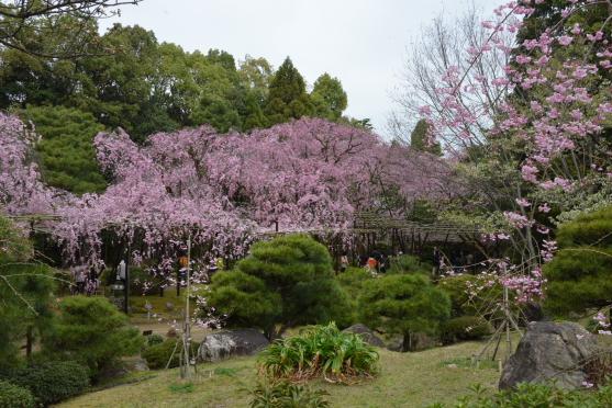 神苑八重紅枝垂れ桜