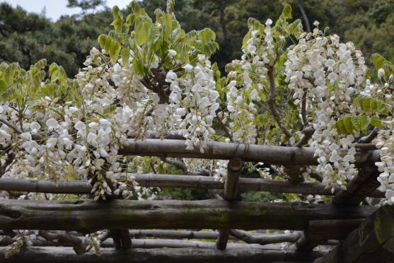 藤の花④旧日暮亭