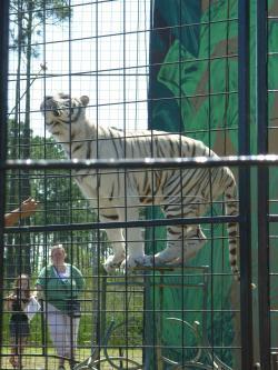 w tiger
