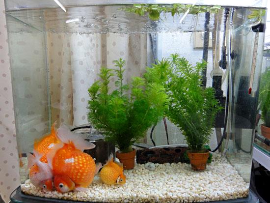 金魚水槽20130212