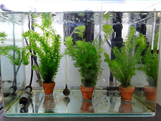 小金魚水槽20130212