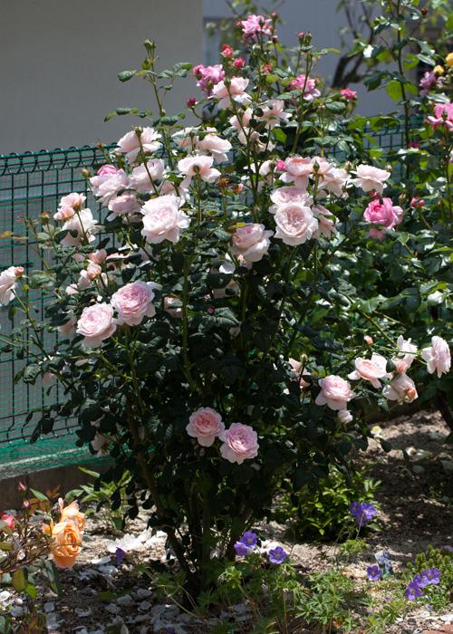 http://blog-imgs-50.fc2.com/j/r/o/jrose2009/IMG_2501.jpg