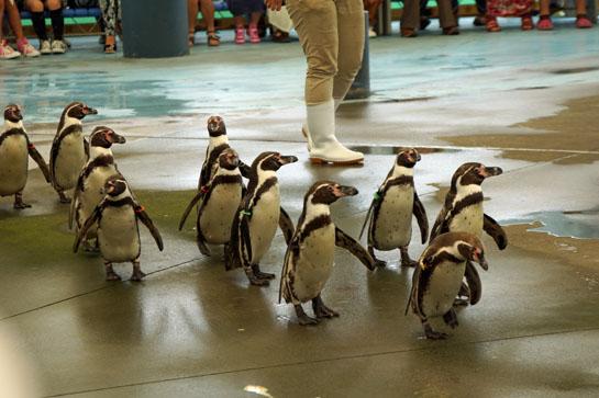 鳥羽ペンギン22013 05 27_6054