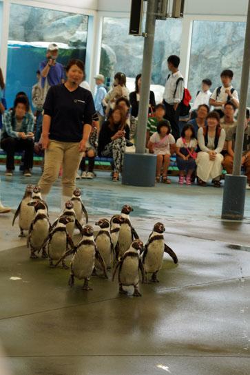 鳥羽ペンギン2013 05 27_6053