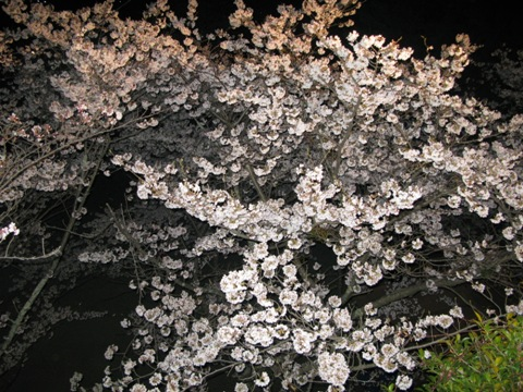 松阪城桜 008