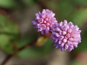 ヒメツルソバ花