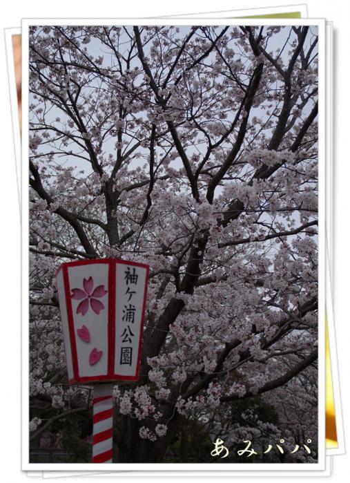 sakura (5)