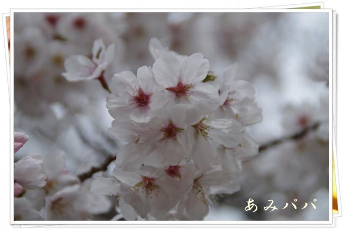 sakura (8)