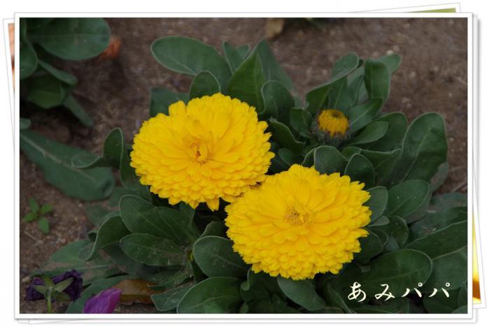 sakura (12)