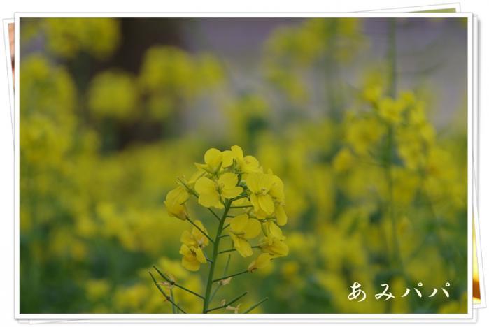 sakura (14)