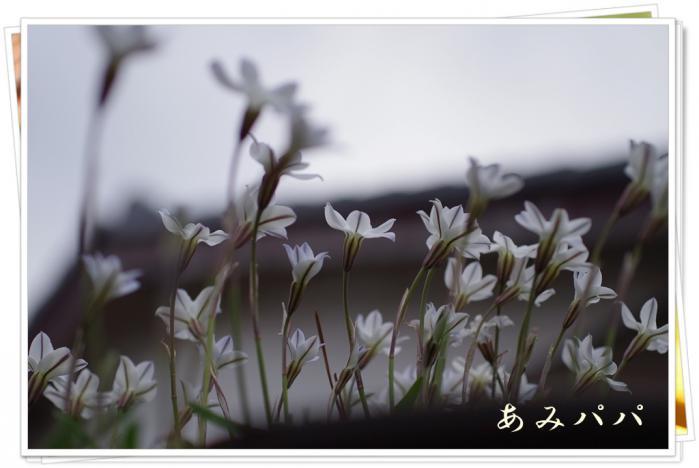 sakura (19)