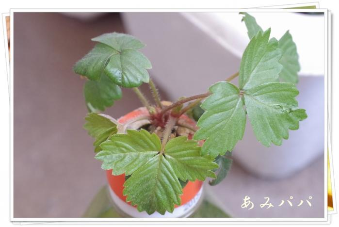 ichigonono (1)