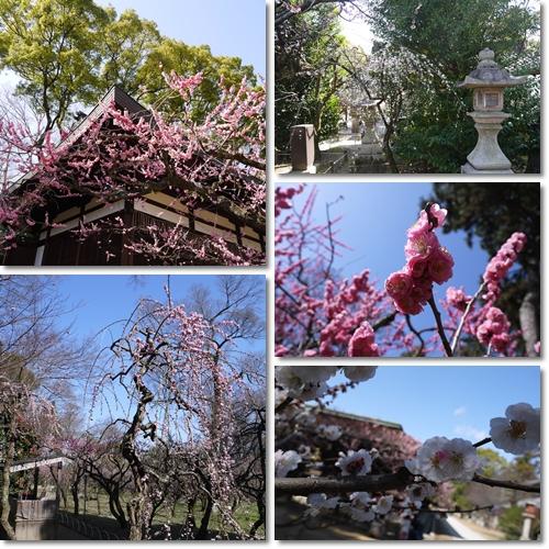 梅の花は終わりかけ