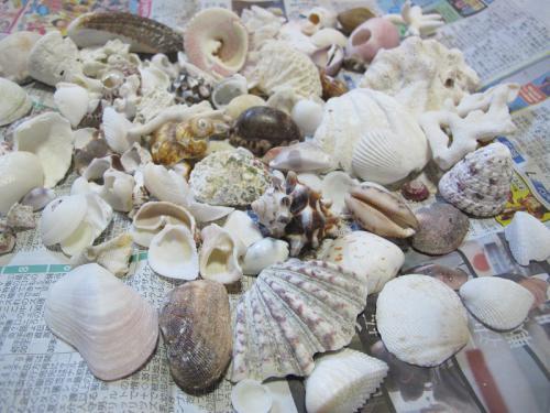 ニシハマの貝殻