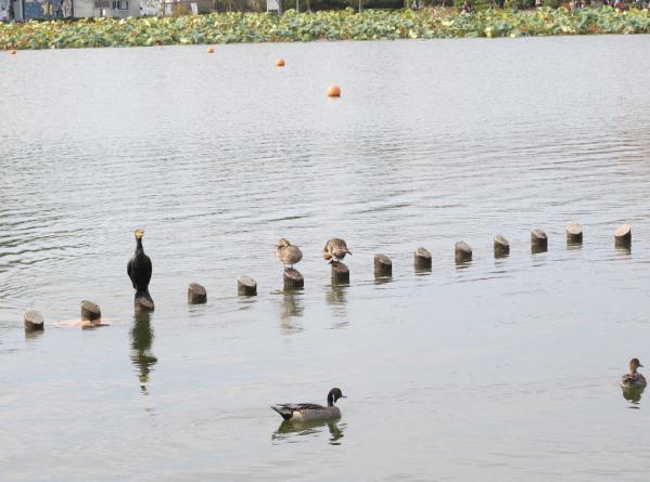 蓮華寺池公園 オナガガモとカワウ