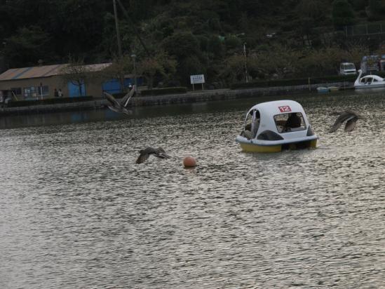 蓮華寺池公園 オナガガモ