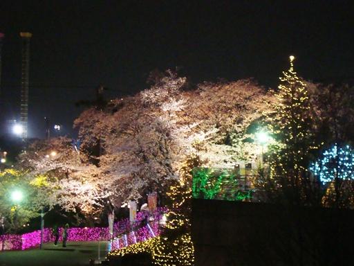 よみうりランド桜
