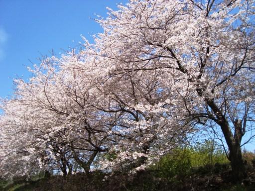 池辺富士付近桜