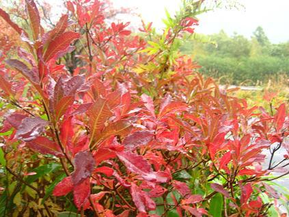 レンゲツツジの葉