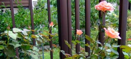 2階の薔薇
