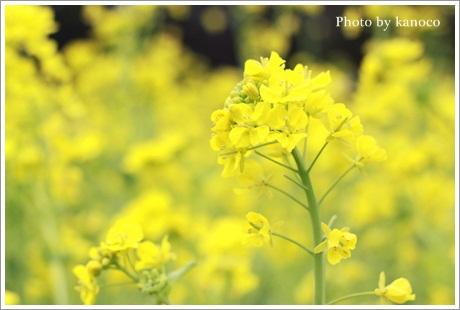 菜の花450