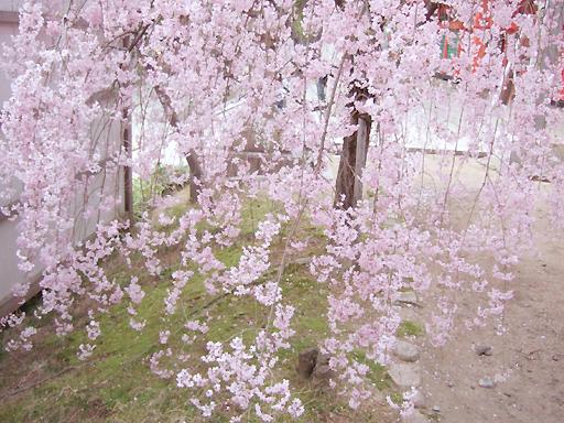 桜の枝のカーテン