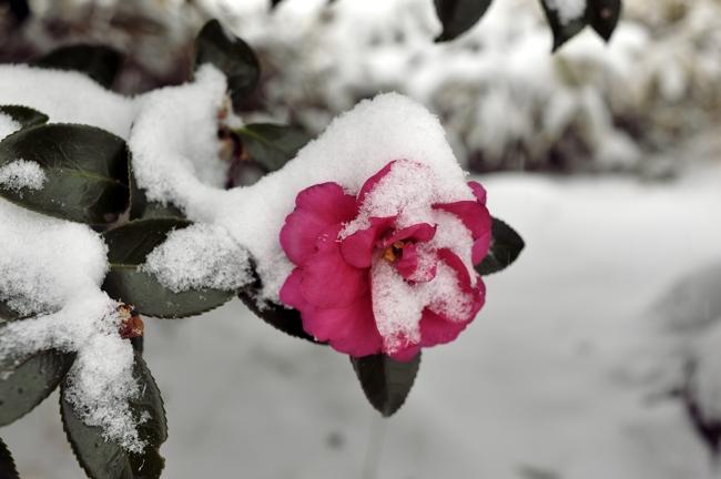 山茶花も雪をかぶってます。