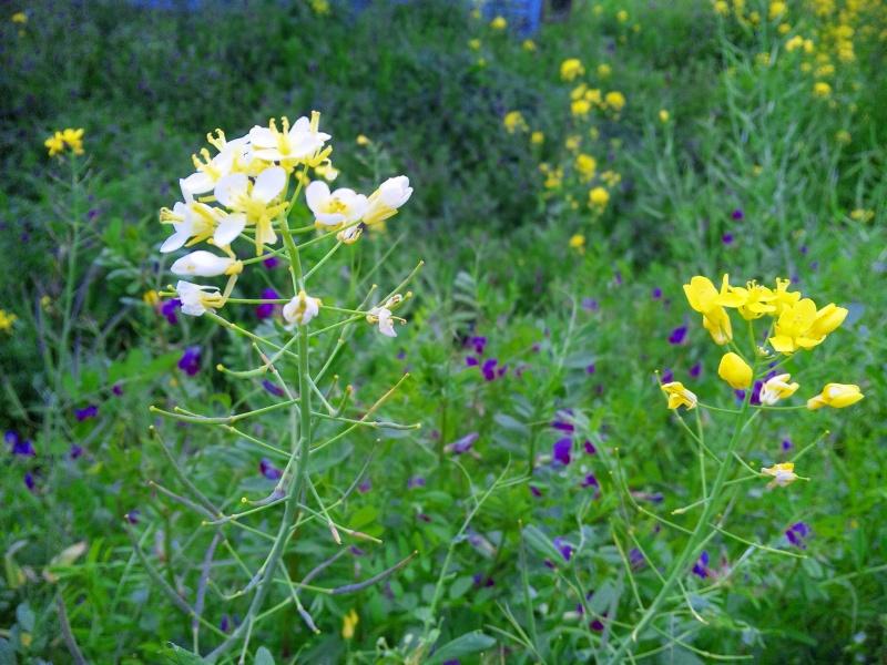 130328_164450アルビノ葉の花