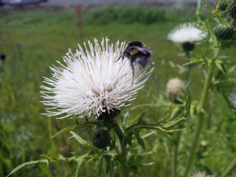 130425_135159ハチ・白い花粉だらけのケツ