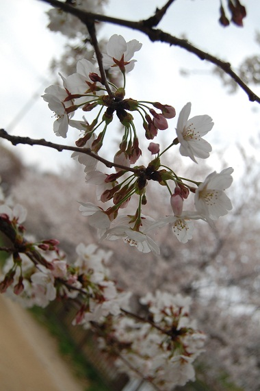 鶴見緑地・桜 575