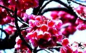 5訪台(桜花)-170