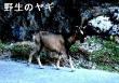 出来事23野生のヤギ-110