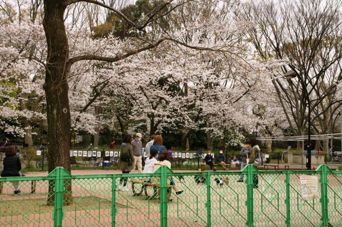 DSC08071加工駒沢桜