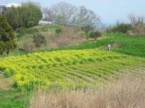 黄色い花です