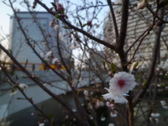 OBPでは早咲きの八重桜