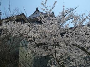 満開の桜ですって