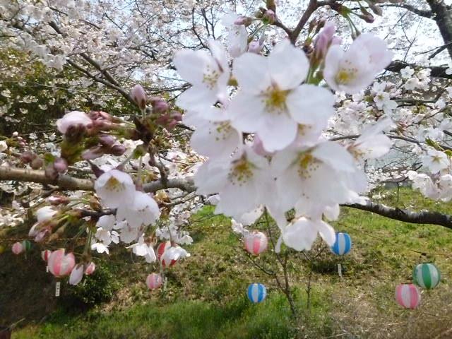 いまでも桜祭りってやってるでしょうか