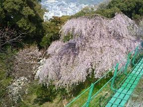 眼下にはしだれ桜も見えます