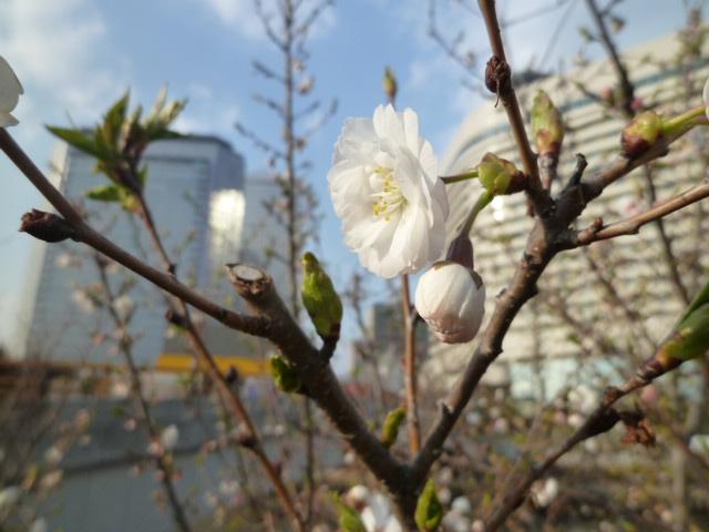 咲き始めの桜です