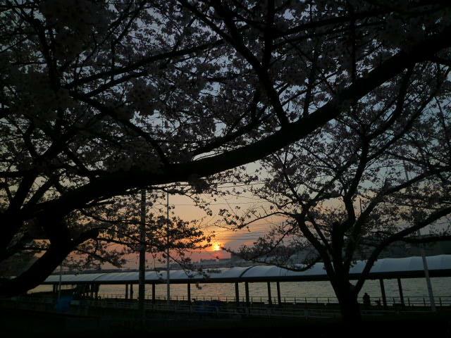 沈む夕日に桜が映えます